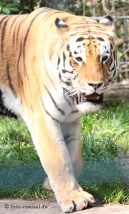 weiblicher Sibirischer Tiger im Braunschweiger Zoo