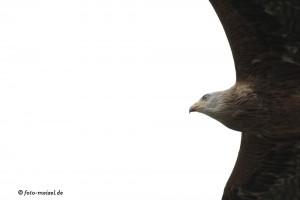 rotmilan im überflug